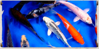 Wigert 39 s bonsai premium koi fish for How much does a koi fish cost